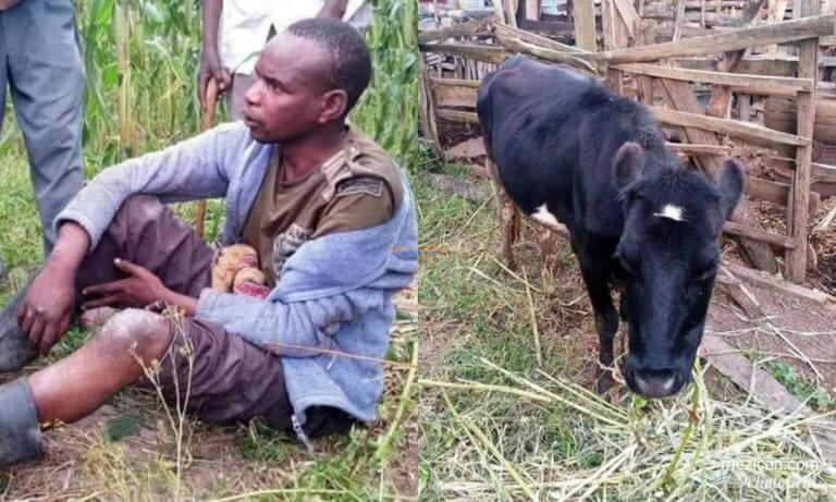 Bestiality: Man Sleeps With Cows To Avoid Being Infected