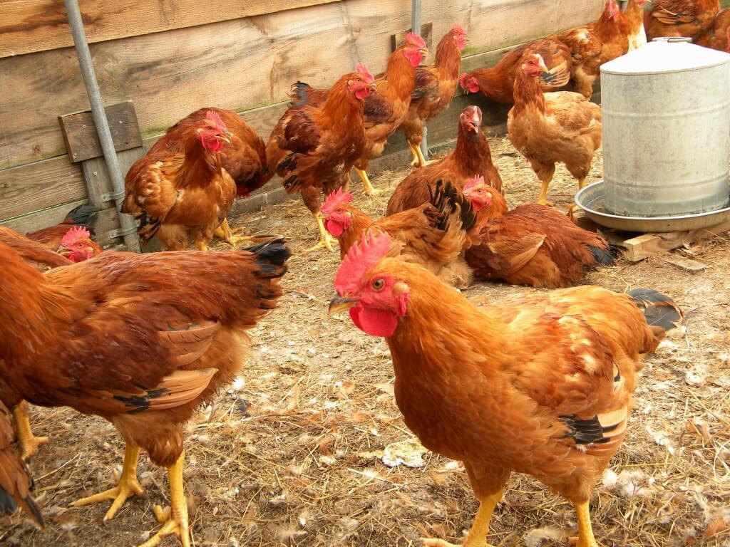 rural-poultry-farming